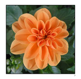 Peach_55.jpg