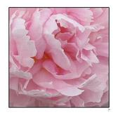 Pink_tissue_55.jpg