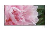 pink_tissue2.jpg